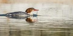 Goosander. (Jez Nunn) Tags: redbreastedmerganserwaterbirdreflectionwaterdropnaturewildlifesussex
