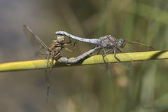 Orthetrum coerulescens (Fabricius 1798). Cópula (Ricardo Menor) Tags: odonatos anisóptros dragonfly dragonflies libélulas riovinalopó2016 riovinalopó 2016 iluminaciónnatural airelibre ortetrumcoerulescens cópula