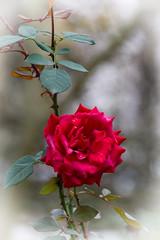 Ruža jesenjska