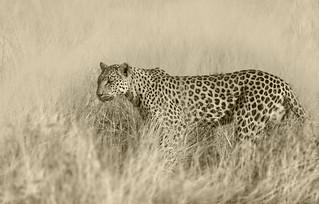 Leopard-Etosha NP Namibia_3210 copy