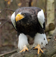 steller´s sea eagle blijdorp BB2A1213 (j.a.kok) Tags: arend zeearend eagle seaeagle stellerzeearend steller´sseaeagle blijdorp vogel bird birdofprey