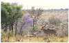 """"""" I Remember These Flowers. They Stick to My Hoofs."""" (The Spirit of the World) Tags: spring tree bush madikwe gamereserve nature wildlife logs antelope kudu gamedrive safari southafrica africa landscape"""