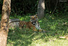 Tiger at Ease (Deepu Cyriac) Tags: nature nilgiribiosphere nagarhole nagarholenp travel tiger bengaltiger royalbengaltiger bigcat wildlife westernghats indianforest karnataka kabini