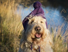47/52 ... Evie's imitation with nordic hat :) (Chickpeasrule) Tags: evie goldendoodle hat nordic purple happy bokeh afternoon light 52weeksfordogs river woolly