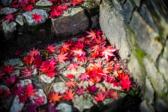 In Cycles (moaan) Tags: kobe hyogo japan jp fallenleaves dryleaves maple mapleleaves japanesemaple momiji stonesteps autumn autumncolors autumnleaves fall fallcolors red fragility transmigration leica mp leicamp type240 noctilux 50mm f10 leicanoctilux50mmf10