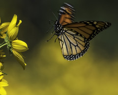 MonarchButterfly_SAF1137-4 (sara97) Tags: danausplexippus butterfly copyright©2017saraannefinke endangered insect missouri monarch monarchbutterfly nature outdoors photobysaraannefinke pollinator saintlouis towergerovepark flight inflight flying
