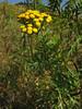 Tansy (aniko e) Tags: yellow flower wild common summer diversity asteraceae tanacetum tanacetumvulgare tansy rainfarn gilisztaűzővarádics pilis pilisszentlászló hungary reinfann