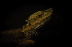 Bearded dragon (benlambert5) Tags: lizard carrots dragon beardeddragon