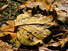 Rainy Leaves (Stanley Zimny (Thank You for 26 Million views)) Tags: fall seasons autumn colors water drops leaf leaves