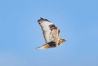 Rough- legged Hawk
