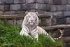2017-05-04-Pairi_Daiza-0906.jpg (BZD1) Tags: bengaalsetijger natuur tiger mammal bengaltiger pairidaiza pantheratigristigris carnivore wittetijger nature tijger animal brugelette wallonie belgië be wildcatworld bigcat