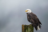 _H4I0062 (Confusion_Circle) Tags: harrison bald eagle salmon wildlife canon 600mm f4
