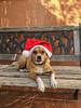 Roberta Navideña (boscani@) Tags: rovi roberta perro