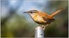 Carolina Wren DSC_9025 (blindhogmike) Tags: bird south carolina wren columbia sc state