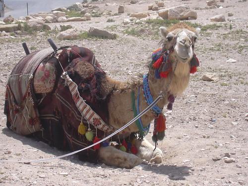 Palmyra (Tadmor), Dromedar wartet auf müde Gäste beim Eingang vorm Hotel Zenobia