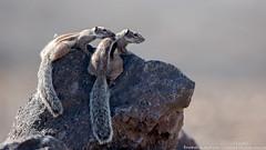 Ecureuils de Barbarie (gilbert.calatayud) Tags: ecureuil de barbarie atlantoxérus gétulus mammifère rongeur sciuridés la pared fuerteventura iles canaries