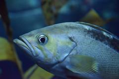 Staring Contest (Bad Alley (Cat)) Tags: fish aquarium ripleysaquarium underwater