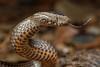 Golden-crowned Snake (Cacophis squamulosus) (Jules Farquhar.) Tags: goldencrownedsnake cacophissquamulosus elapidae venomous snake reptile herpetofauna rainforest nsw midnorthcoast julesfarquhar