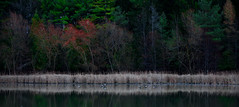 Trees and Geese (Faron Dillon) Tags: geese birds wildlife markham ontario canada milne conservation trees canon 70200l 70200 5ds fall autumn reflection nature landscape