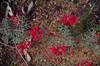 Grevillea wilsonii, Avon Valley National Park, near Toodyay, WA, 18/10/17 (Russell Cumming) Tags: plant grevillea grevilleawilsonii proteaceae avonvalleynationalpark toodyay northam westernaustralia