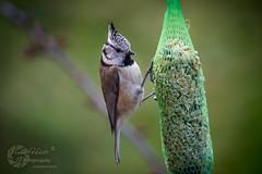 Haubenmeise im Garten...  © Frank Heldt (Frank Heldt Photography) Tags: kamen nordrheinwestfalen deutschland de haubenmeise meise vogel natur nature wildlife winter