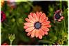 Friday Daisy (Daniela 59) Tags: 7dwf 7dayswithflickr fridaythemeflora flower plant daisy africandaisy osteospermum colourful danielaruppel