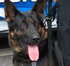 Police Dog (swong95765) Tags: dog police canine animal trained alert watching duty lawenforcement