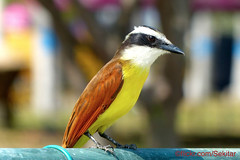 Colourful Great Kiskadee, Cartagena, Colombia (Sekitar - thank you for 20 Million views) Tags: colombia southamerica south america amerika latin colourful bird cartagena nature alam pitangussulphuratus pitangus sulphuratus schwefeltyrann greatkiskadee great kiskadee