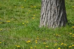 Dandelions and Tree (Vegan Butterfly) Tags: outside outdoor edmonton alberta park summer flowers dandelions yellow nature tree