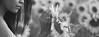 P&W (33 de 71) (Grand Prisma Fotografia) Tags: casamento amor sessão romântico girassol