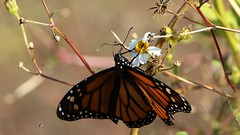 Monarch Butterfly (Gail Casteel) Tags: outdoors nature orange monarch butterflies stmarksnwr florida