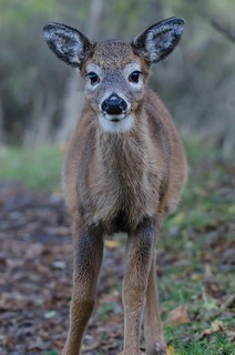 Chevreuil faon / Deer fawn