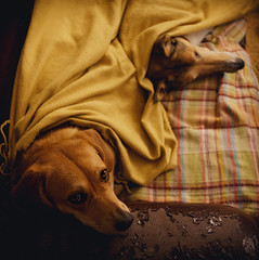 (kecotting) Tags: eyes animaleyes dogs pets animals sofa blanket cuddle sleep nap yellow plaid mutt collie fujifilm xt2 rescuedogs dog square littledoglaughedstories