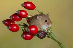 Harvest Mouse, CaptiveLight, Ringwood, Hampshire, UK