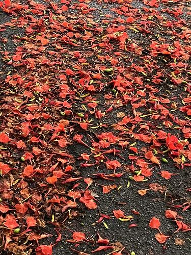 Royal Poinciana petals carpet the ground