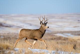 1711_0402 Mule Deer