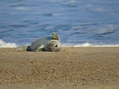 Waves On The Beach (mr_snipsnap) Tags: fauna grey seal mammal nature wildlife