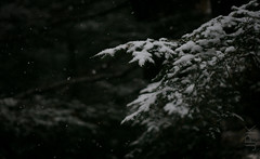Hemlocks, beginning winter, 2017 (koperajoe) Tags: woodland evergreen winter dark macro botanical newengland moody snowflakes westernmassachusetts hemlocal snow