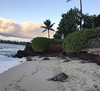 (tony_deieso) Tags: trees clouds palmtrees beaches beach sand nature naturalbeauty hawaii mauihawaii maui ocean water bigturtles hawaiianturtles sunsets sunset turtles turtle