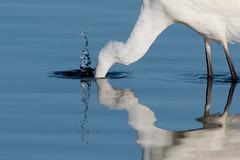 Great White Egret-190 (davidgardiner8) Tags: birds dungenessrspbreserve egrets greatwhiteegret herons kent
