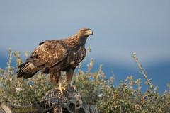 GOLDEN EAGLE (Santy1964) Tags: aguilareal aquila goldeneagle extremadura extremadurabirds rapaces raptors