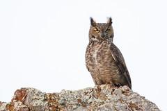GHO (toryjk) Tags: gho ggnra wild nature owl owling greathornedowl hoot owlonarock wildlifephotography wildcalifornia california norcalmarinheadlands