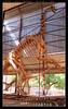 jubaria tiguidensis dinosaurus (harrypwt) Tags: harrypwt niger niamey agadez historical dinosaurus canons95 s95 framed