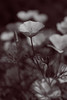 Golden poppy (Bela Bodo) Tags: bloom meadow nature beautiful spring fragility mist