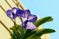 jungle collected, Vanda coerulea species orchid, 3rd successful spike in 7 months  10-17* (nolehace) Tags: vanda coerulea species orchid 1017 jungle collected plant bloom flower fall nolehace fz1000 sanfrancisco