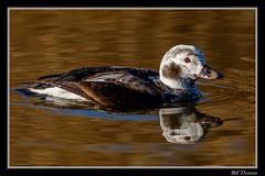 Long-tailed Duck-6 (billthomas_steel) Tags: longtailedduck duck bird britishcolumbia fraservalley wildlife canon canada eos7dmarkii winter clangulahyemalis waterfowl