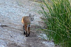 Bobcat at Sweetwater Wetlands (steve_scordino) Tags: arizona sweetwaterwetlands wildlife bobcat