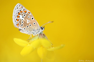 1st Prize - Common Blue by Mike McKenzie