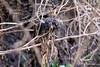 Rusty-backed Spinetail (helmutnc) Tags: hennysanimals hg specanimal sweetfreedom