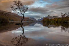 Lone Tree at sunset (sarahOphoto) Tags: 2017 6d bare canon clouds kingdom lake landscape llanberis llyn lone mountains national october padarn park reflection sky snowdonia sunset tree uk united wales